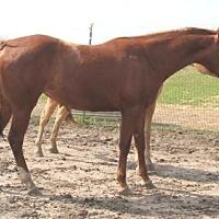 Quarterhorse Mix for adoption in Dewey, Illinois - Winnie