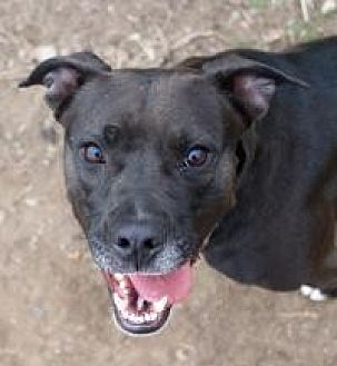 Labrador Retriever Dog for adoption in Memphis, Tennessee - Bella
