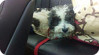 Miniature Poodle/Lhasa Apso Mix Dog for adoption in Hollywood, California - Panda