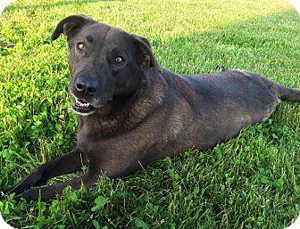 Labrador Retriever/German Shepherd Dog Mix Dog for adoption in Russellville, Kentucky - Daisy