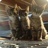 Adopt A Pet :: Tiggy - Ortonville, MI