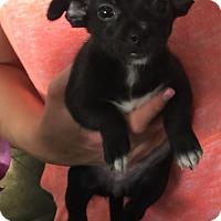 Adopt A Pet :: Maisie - Santa Ana, CA
