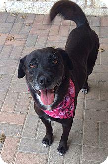 Labrador Retriever/Retriever (Unknown Type) Mix Dog for adoption in Plano, Texas - Sydney