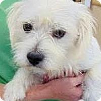 Adopt A Pet :: Snow-ADOPTION PENDING - Boulder, CO