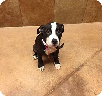 Pit Bull Terrier Mix Puppy for adoption in Philadelphia, Pennsylvania - Patty