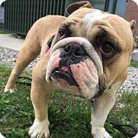 Adopt A Pet :: CHLOE - Boston, MA