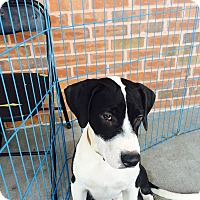 Adopt A Pet :: Anthony - ST LOUIS, MO