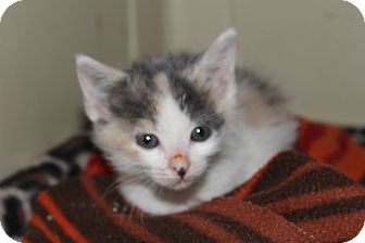 Calico Kitten for adoption in Wichita, Kansas - Cricket