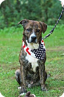 Boxer/Mastiff Mix Dog for adoption in Transfer, Pennsylvania - Mickey