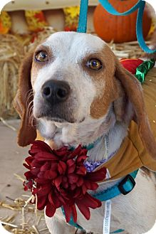 Beagle Dog for adoption in Oakhurst, New Jersey - Simone