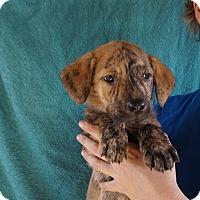 Adopt A Pet :: Pepper - Oviedo, FL