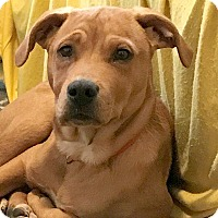 Labrador Retriever/Hound (Unknown Type) Mix Puppy for adoption in Durham, North Carolina - Copper Dean