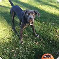 Adopt A Pet :: Indigo - Chambersburg, PA