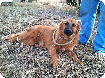 Shepherd (Unknown Type) Mix Dog for adoption in Lebanon, Maine - Dexter-URGENT