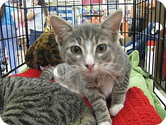 Domestic Shorthair Kitten for adoption in Vero Beach, Florida - Jaso