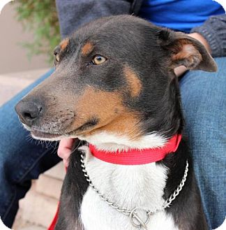 Doberman Pinscher/German Shepherd Dog Mix Dog for adoption in Phoenix, Arizona - Lucky Bonnie