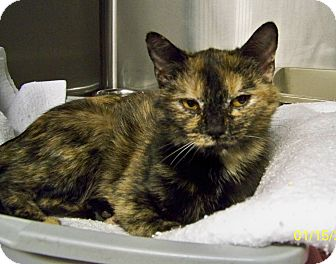 Domestic Shorthair Cat for adoption in Dover, Ohio - Lana
