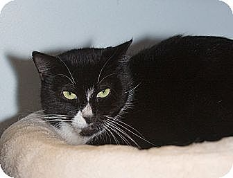 Domestic Shorthair Cat for adoption in Elmwood Park, New Jersey - Bebe