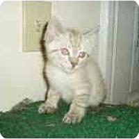 Adopt A Pet :: Siamese Kittens - Arlington, VA