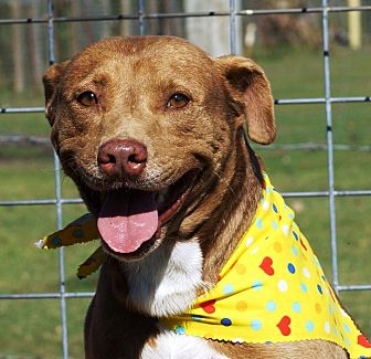Australian Kelpie/Labrador Retriever Mix Dog for adoption in Simsbury, Connecticut - Herman