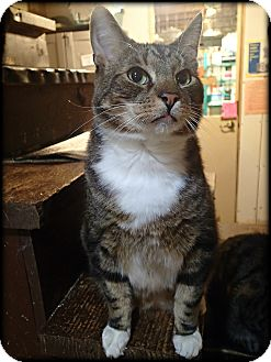 Domestic Shorthair Cat for adoption in Middletown, Connecticut - Cortland