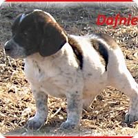 Adopt A Pet :: Dafnie- Adoption Pending - Marlborough, MA