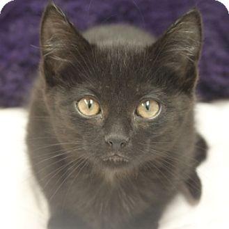 Domestic Shorthair Kitten for adoption in Naperville, Illinois - Troi