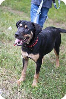 Doberman Pinscher/Rottweiler Mix Dog for adoption in Davie, Florida - Rex