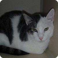 Domestic Shorthair Cat for adoption in Hamburg, New York - Nate