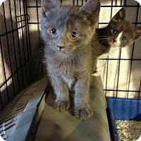 Domestic Shorthair Kitten for adoption in Whitestone, New York - River n Phoenix