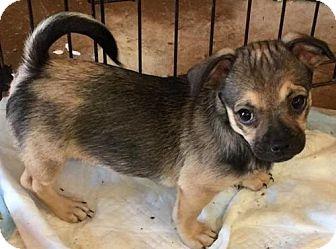 Pug/Dachshund Mix Puppy for adoption in Tucson, Arizona - Simone's pup Ash