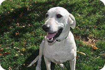 Labrador Retriever Mix Dog for adoption in Broomfield, Colorado - Quarton