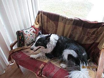 Border Collie Dog for adoption in San Pedro, California - OAKLEY