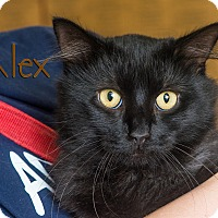 Domestic Shorthair Cat for adoption in Somerset, Pennsylvania - Alex