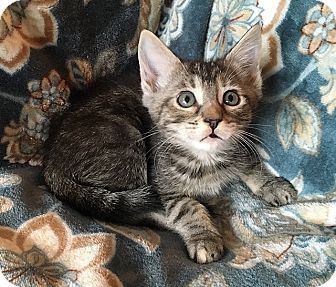 Domestic Shorthair Kitten for adoption in Tampa, Florida - Milan