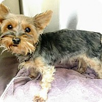 Yorkie, Yorkshire Terrier Dog for adoption in Newark, Delaware - Riley