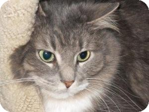 Domestic Longhair Cat for adoption in Milwaukee, Wisconsin - Irma