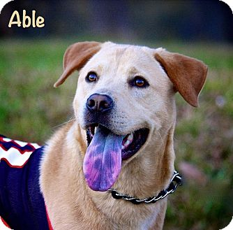 Labrador Retriever Mix Dog for adoption in Wilmington, Delaware - Able