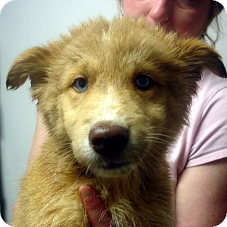 Husky/Collie Mix Puppy for adoption in baltimore, Maryland - Domino