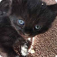 Adopt A Pet :: Blue eyed black - Chandler, AZ