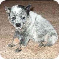 Adopt A Pet :: Traci - Phoenix, AZ