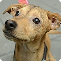 Adopt A Pet :: Gus - New York, NY