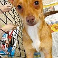 Adopt A Pet :: Boomer - Fresno, CA