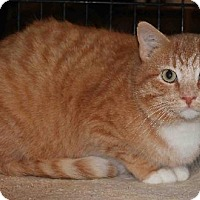 Domestic Shorthair Cat for adoption in Columbus, Ohio - Rocky BalBoa