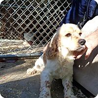 Adopt A Pet :: Spanky - Crump, TN