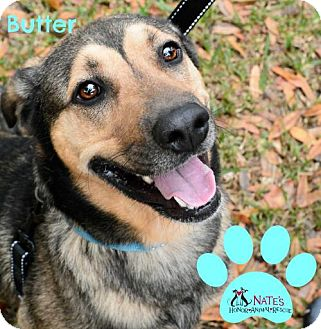 Shepherd (Unknown Type) Mix Dog for adoption in Bradenton, Florida - Butter