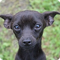 Chihuahua Mix Dog for adoption in Lodi, California - Leroy