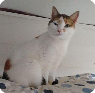 Domestic Shorthair Cat for adoption in Morganton, North Carolina - Lila