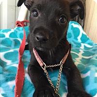 Adopt A Pet :: IZAR - Elk Grove, CA