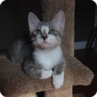 Domestic Shorthair Kitten for adoption in Nashville, Tennessee - Cam